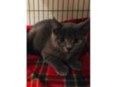 Adopt Blue a Gray or Blue Russian Blue (short coat) cat in syracuse