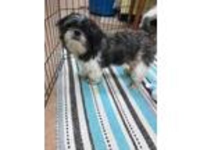 Adopt Wickett a White Shih Tzu / Mixed dog in Monks Corner, SC (25896233)
