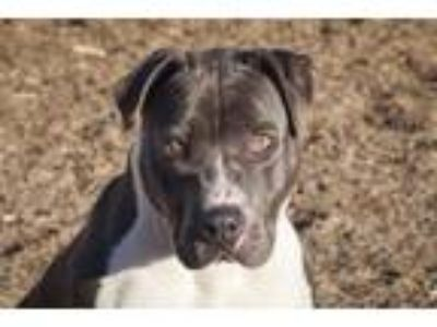 Adopt Cooper- 32915 a Pit Bull Terrier