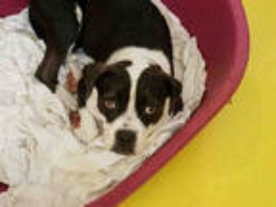 White - Dogs for Adoption Classifieds in Irving, Texas - Claz org