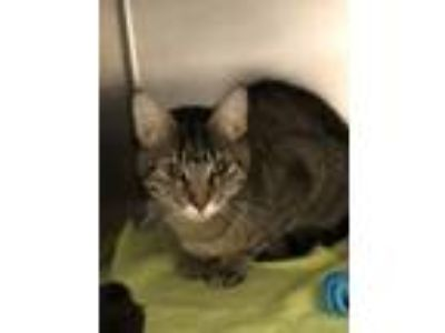 Adopt Maryl a Domestic Short Hair, Tabby