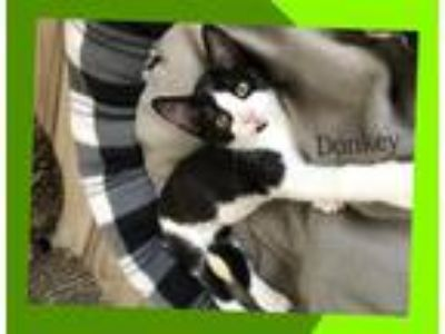Adopt Donkey 19-0024 a Black & White or Tuxedo Domestic Shorthair / Mixed (short