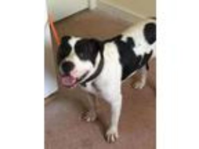 Adopt Holstein a Pit Bull Terrier