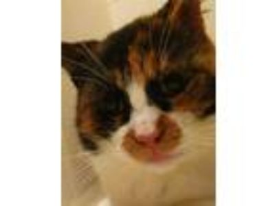 Adopt XP Zoe FIV+ a Calico or Dilute Calico Calico / Mixed (short coat) cat in