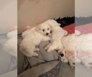 Bichon Frise PUPPY FOR SALE ADN-128798 - Intelligent Bichon frise puppies