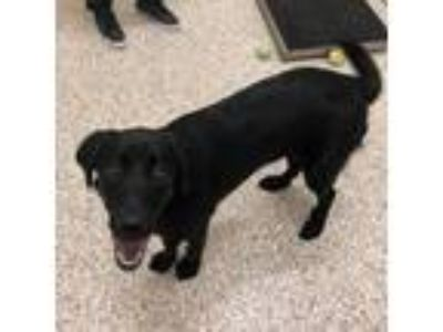Adopt Mellie a Black Labrador Retriever