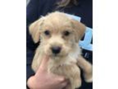 Adopt Peanut a Terrier (Unknown Type, Medium) / Brussels Griffon / Mixed dog in