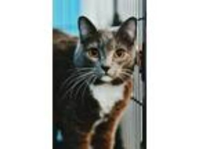 Adopt Chicago a Gray or Blue Domestic Shorthair / Mixed cat in Dumfries