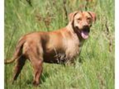 Adopt Nola Beatrice a Red/Golden/Orange/Chestnut - with White Labrador Retriever