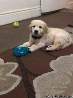 Male Golden Retriever Puppy For Adoption