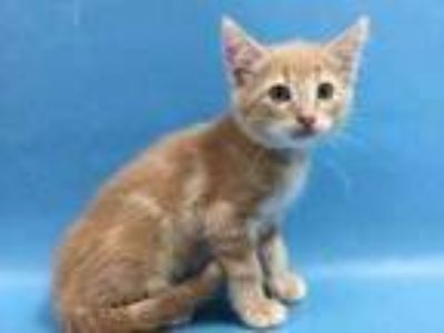 Adopt Biscuit a Tan or Fawn Domestic Mediumhair / Mixed cat in St.