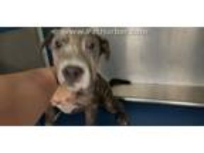 Adopt A322362 a Pit Bull Terrier, Mixed Breed