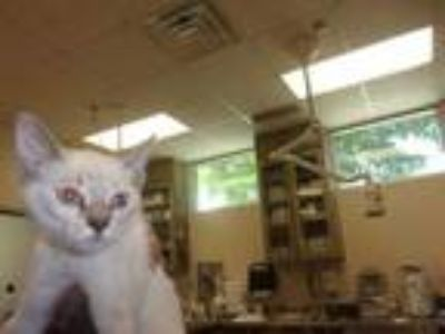 Adopt Blancita a Cream or Ivory Siamese / Domestic Shorthair / Mixed (short