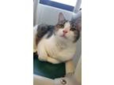 Adopt Remy a Domestic Short Hair