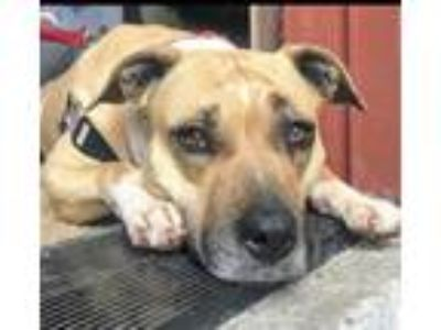 Adopt Pebbles a Tan/Yellow/Fawn American Pit Bull Terrier / Black Mouth Cur /