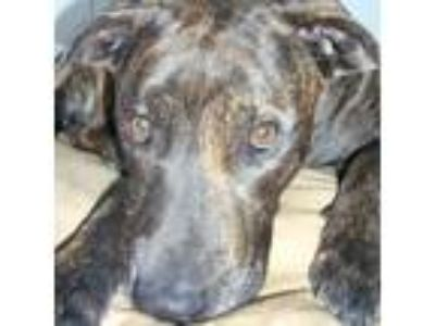 Adopt Cody a Brindle American Pit Bull Terrier / Plott Hound / Mixed dog in New