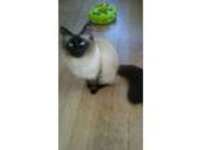 Adopt Lily a Domestic Short Hair, Ragdoll