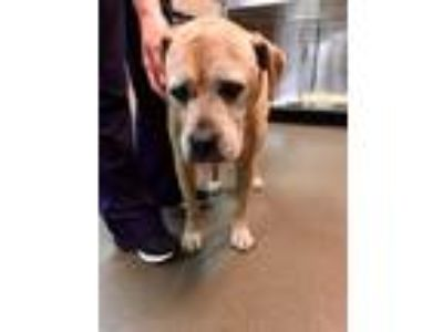 Adopt Lila a Tan/Yellow/Fawn - with White Boxer / Labrador Retriever / Mixed dog
