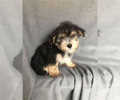 Morkie PUPPY FOR SALE ADN-129849 - Morkie Puppy