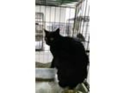 Adopt Debi a Domestic Short Hair