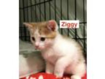 Adopt Ziggy a Domestic Short Hair