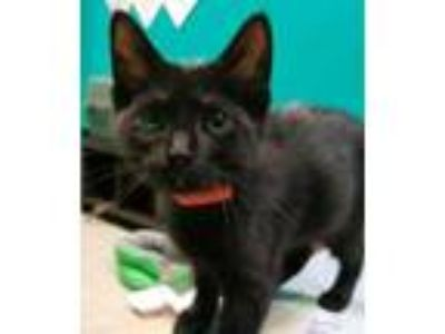 Adopt East a All Black Domestic Shorthair / Domestic Shorthair / Mixed cat in