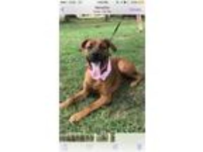 Adopt Maggie a Tan/Yellow/Fawn Boxer / Rottweiler dog in Collierville