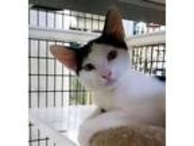 Adopt Catillac a Domestic Shorthair / Mixed cat in Naples, FL (22651791)