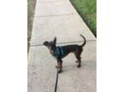 Adopt Simon a Brindle Schnauzer (Miniature) / Italian Greyhound / Mixed dog in