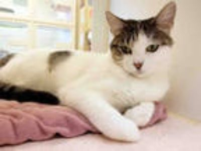 Adopt LILAH a White (Mostly) Domestic Shorthair / Mixed (short coat) cat in