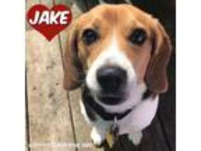 Adopt Jake a Tricolor (Tan/Brown & Black & White) Beagle / Mixed dog in South