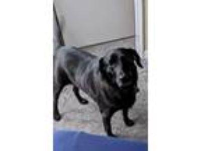 Adopt Harley Steele a Labrador Retriever, Feist