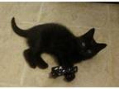 Adopt McNugget a Domestic Shorthair / Mixed (short coat) cat in Hoover