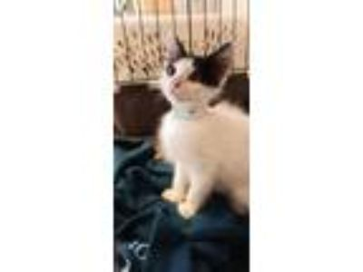 Adopt Pepe 966-19 a White Domestic Longhair / Domestic Shorthair / Mixed cat in