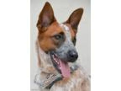 Adopt Trapper a Cattle Dog