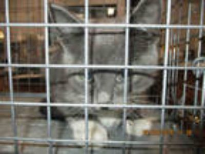 Adopt a Gray or Blue (Mostly) American Shorthair / Mixed (short coat) cat in
