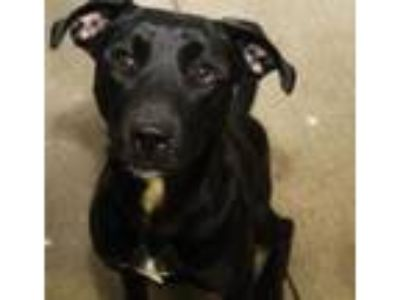 Adopt Patience a Black Labrador Retriever / Mixed dog in Bowling Green
