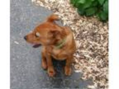 Adopt Roxy a Red/Golden/Orange/Chestnut Pomeranian / Labrador Retriever dog in