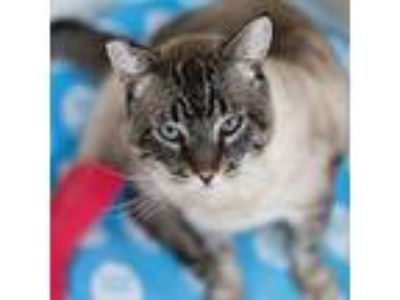 Adopt Leopold a Siamese, Domestic Short Hair