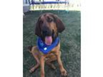Adopt Ruby a Brown/Chocolate - with Black Bloodhound dog in Ellsworth AFB