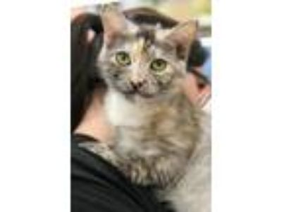 Adopt Maisel (1669-18) a Domestic Mediumhair / Mixed (short coat) cat in