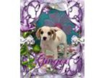 Adopt Ginger a White - with Tan, Yellow or Fawn Beagle / Mixed dog in Corinth