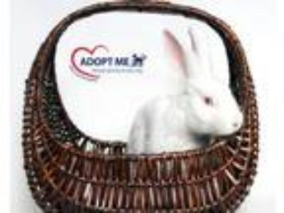 Adopt Cottontail a Bunny Rabbit