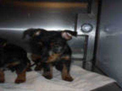 Adopt # a Black - with Tan, Yellow or Fawn Norfolk Terrier / Dachshund / Mixed