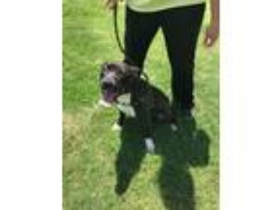 Adopt LAYLA a Pit Bull Terrier