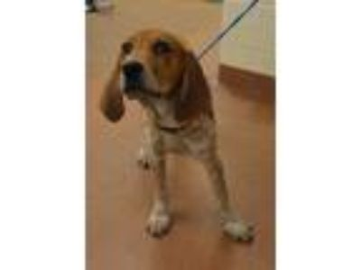 Adopt 56612 Rufus a Red/Golden/Orange/Chestnut Hound (Unknown Type) / English