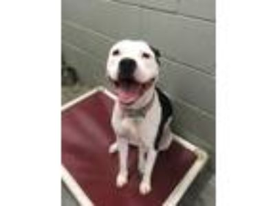 Adopt Lulu - ABS and free a Pit Bull Terrier