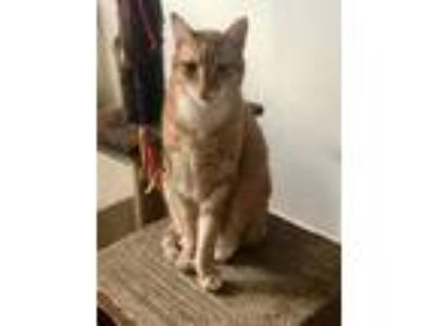 Adopt Simply Charming Albert a Orange or Red Domestic Shorthair / Mixed (short
