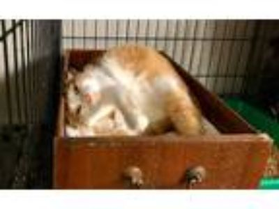 Adopt Bart a Domestic Shorthair cat in Maryville, TN (25529967)