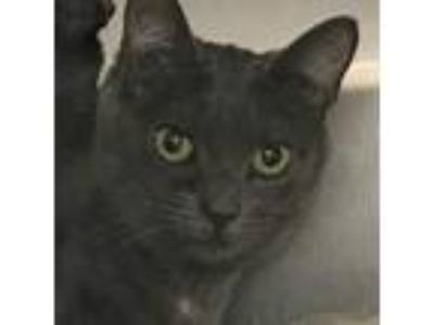 Adopt Toe a Gray or Blue Domestic Shorthair / Domestic Shorthair / Mixed cat in